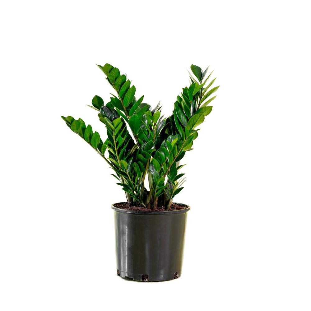 AMERICAN PLANT EXCHANGE ZZ Zanzibar Gem Live Plant, 6'' Pot, Indoor/Outdoor Air Purifier by AMERICAN PLANT EXCHANGE