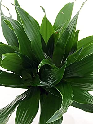 Janet Craig Dragon Tree - Dracaena fragrans - 4 from jmbamboo