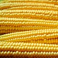 Robust yellow Hulles Hybrid Popcorn Garden Seeds - Non-GMO Vegetable Gardening Seeds - Pop Corn