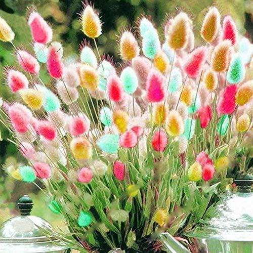 Garden 100Pcs Lagurus Ovatus Colorful Bunny Tail Grass Seeds Non-GMO Ornamental Plants Yard Office Decoration, Open Pollinated Seeds - Mint Green