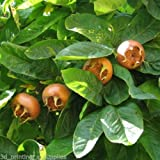 Showy Medlar, Mespilus germanica, Tree Seeds (30 seeds)
