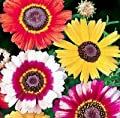Heirloom 300 Seeds Painted Daisy Chrysanthemum Carinatum Flower Bulk Seeds B0035