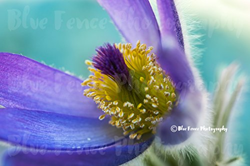 Flower Photography, Purple Power, Floral, Yellow, Teal, Photograph, Shabby Chic, Country, Print, Home, Wall Decor, Living Room, Abstract, Sizes Available from 5x7 to 20x30. by Blue Fence Photography