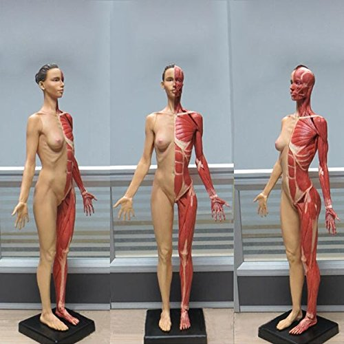 HITSAN 60CM PU Standard Model of Female Human Anatomy Muscle Color One Piece by HITSAN