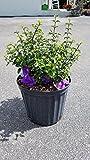 PlantVine Thunbergia erecta, King's Mantle - 10 Inch Pot (3 Gallon), Live Plant - 4 Pack