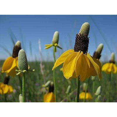 David's Garden Seeds Flower Native American Coneflower Prairie NS0022 (Yellow) 500 Non-GMO, Heirloom Seeds : Garden & Outdoor