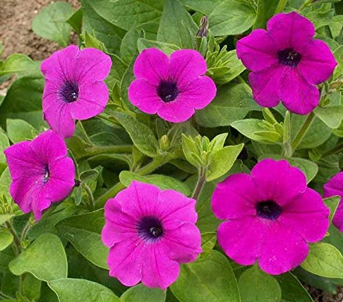 David's Garden Seeds Flower Petunia Wild SL1311 (Violet) 500 Non-Open, Open Pollinated Seeds (Seed Organic Petunia)