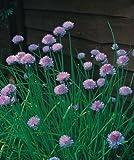 Just Seed - Kraut - Schnittlauch (Allium schoenoprasum) - 1600 Seeds