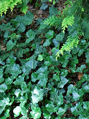(Perennial Farm Marketplace Hedera Helix ((Ivy) Groundcover, Size-#1 Container, Glossy Deep Green Variegated Leaves)