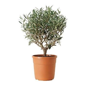 IKEA Olea europaea - plante en pot, olive Olivier: Amazon.fr: Jardin