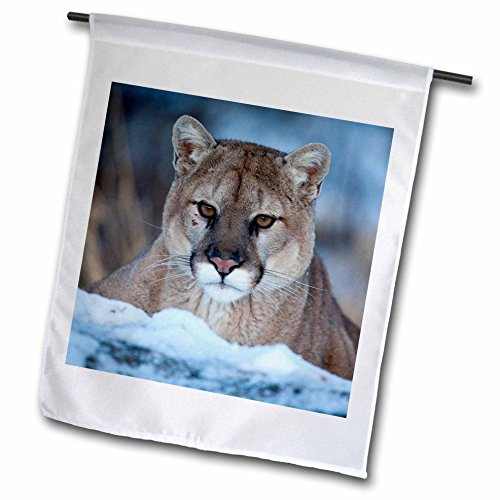 3dRose Danita Delimont - Big Cats - USA, Minnesota, Sandstone. Cougar in the snow - 12 x 18 inch Garden Flag - Cougars Garden