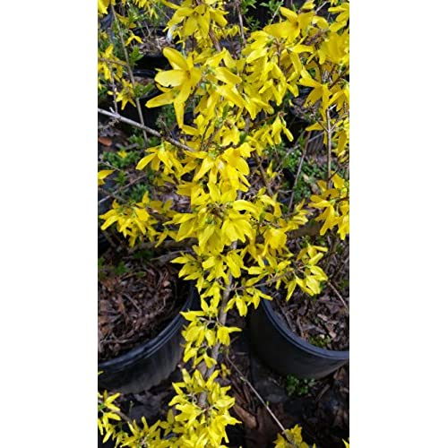 """(1 Gallon) FORSYTHIA """" NEW HAMPSHIRE GOLD"""" Beautiful, Vibrant Yellow Blooms Late Winter to Spring, Attractive Purple Tinge to Fall Leaves. Cold Hardy Variety supplier"""