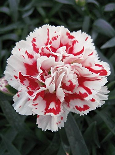 Creative Farmer Flower Seeds Dianthus Grenadin Snow White Flower