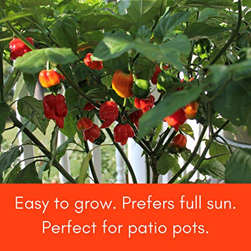 Trinidad Moruga Scorpion Pepper Plant - Non-GMO, Two (2) Live Plants - Not Seeds - Each 3''-7'' Tall - In 3.5'' Pots - WORLD'S HOTTEST in 2012 - 1.46 Mil Scoville Units