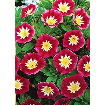 flower Dwarf Morning Glory Red Ensign Convolvulus Tricolor 110 seeds