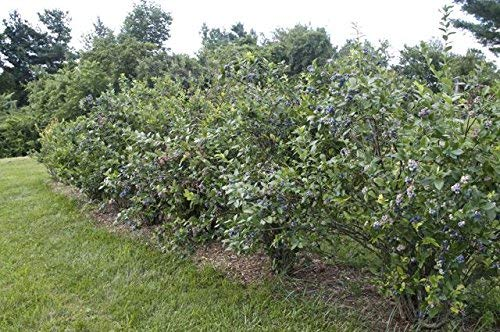 Premier Rabbiteye Blueberry - Live Plant - 3 Gallon Pot by New Life Nursery & Garden (Image #2)