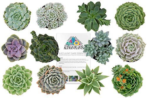 Altman Plants Assorted Live Succulents Flowering Rosette Collection Echeveria, sedeveria, perfect for party favors and arrangements, 2.5