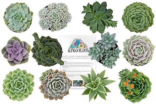 "Altman Plants Assorted Live Succulents Flowering Rosette Collection Echeveria, sedeveria, perfect for party favors and arrangements, 2.5"", 12 Pack"