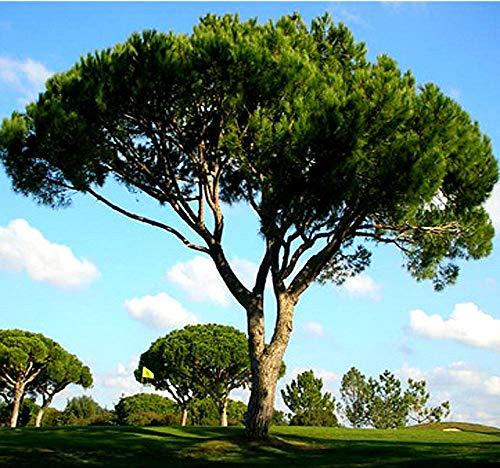 Big Pack - (30) Italian Stone Pine Seeds, Pinus pinea Pine Tree Seeds - Edible Pine Nuts - Non-GMO Seeds by MySeeds.Co (Big Pack - Italian Stone Pine)