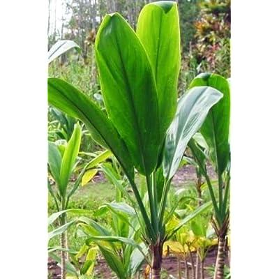 HAWAIIAN GREEN TI LEAF PLANT 2 LOGS ~ GROW HAWAII : Garden & Outdoor