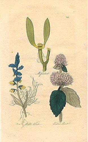 (Missletoe & Milk Wort & Water Mint 1859 antique hand color medicinal plant print)