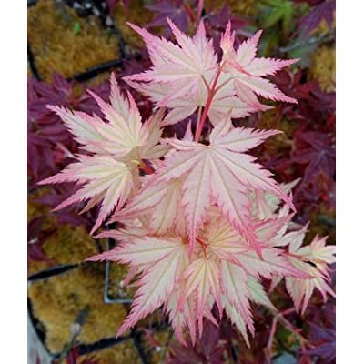 Coral Pink Japanese Maple - Beautiful Coral Pink Leaves in Spring Light Up the Garden 3 - Year Live Plant: Toys & Games