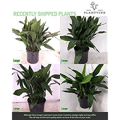 PlantVine Aspidistra elatior, Cast Iron Plant - Large - 8-10 Inch Pot (3 Gallon), Live Indoor Plant : Garden & Outdoor