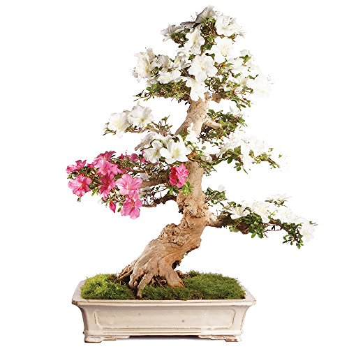 Brussel's Bonsai ST2317SA-O Azalea Specimen Bonsai by Brussel's Bonsai