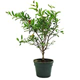 buy AMERICAN PLANT EXCHANGE Dwarf Pomegranate Tree Indoor/Outdoor Pre-Bonsai Live Plant, 1 Gallon, Fruit Producing now, new 2019-2018 bestseller, review and Photo, best price $24.99