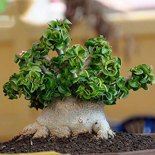 pictures of desert rose tree