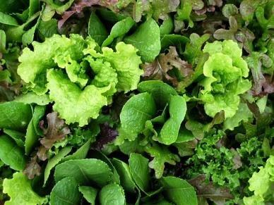 David's Garden Seeds Lettuce Mesclun Mix T132PO (Green) 500 Organic Heirloom Seeds