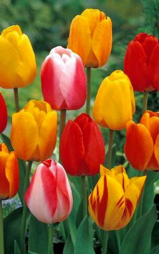 Tequila Sunrise Tulip - 50 Bulbs - Colorful Mix - 12/+ Cm Bulbs