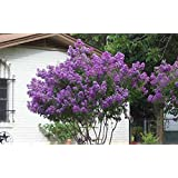 Zuni Crapemyrtle Tree - Live Plant - Shipped 2 to 3 Feet Tall - Purple Crape Myrtle