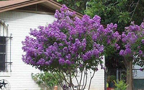 purple crepe myrtle - 6