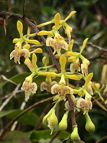 Panama Orchids - Epidendrum horichii - Orchid Plant - Indigenous to Panama