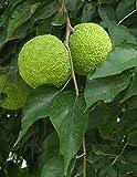 "15""-24""- 1 Plant - Osage Orange Tree Maclura pomifera"
