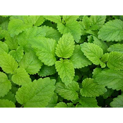 Toyensnow - Lemon Balm, Perennial Herb, Heirloom (1725 Seeds) : Garden & Outdoor