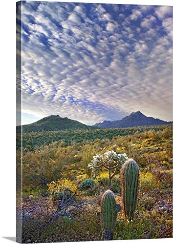(Saguaro and Teddybear Cholla amid Lupine and California Brittlebush Arizona - Canvas Wall Art Gallery Wrapped Ready to Hang - 35
