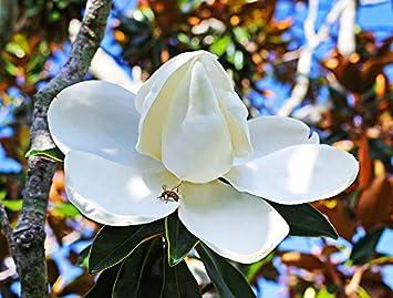 Amazon Home Comforts Laminated Poster Magnolia Flower Tree