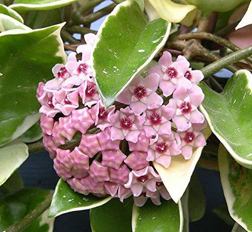 Portal Cool 1 Planta Hoya Krimson reina Flor de cera Pot 12cm Perennes
