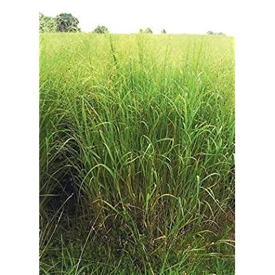 Switchgrass - Kanlow (Panicum virgatum), Seed Packet, True Native Seed : Grass Plants : Garden & Outdoor