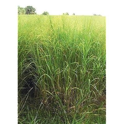 Switchgrass - Cave-in-Rock (Panicum virgatum), Seed Packet, True Native Seed : Grass Plants : Garden & Outdoor