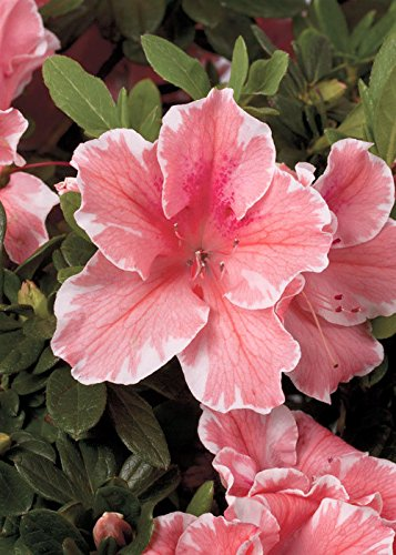 Pink Azalea Plant - 1 Gallon - Encore Azalea Autumn Sunburst - Evergreen shrub that re-blooms with pink flowers with white edges