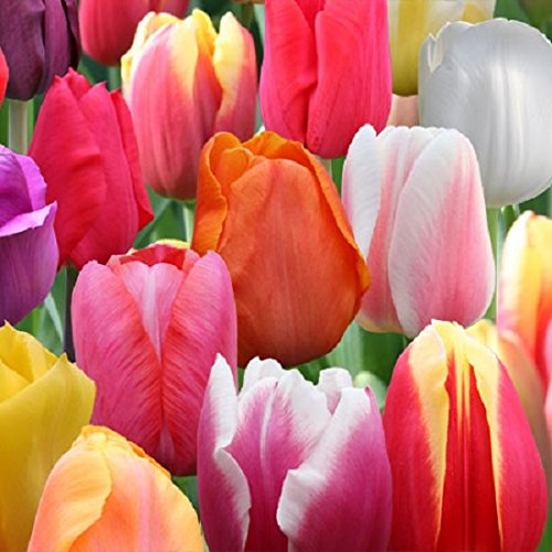 100 bulbs,Large Image Mixed Perennial Tulips SHIPPING! by CaribbeanGarden (Image #2)