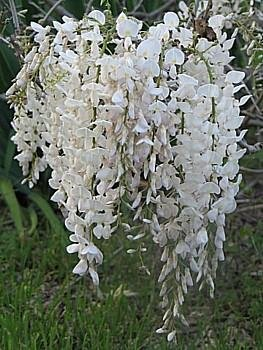 White Chinese Wisteria Vine 5 Seeds
