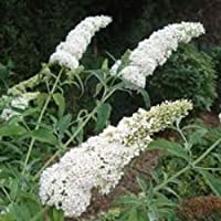 BUDDLIEA 'WHITE PROFUSION' - BUTTERFLY BUSH - FRAGRANT - STARTER PLANT