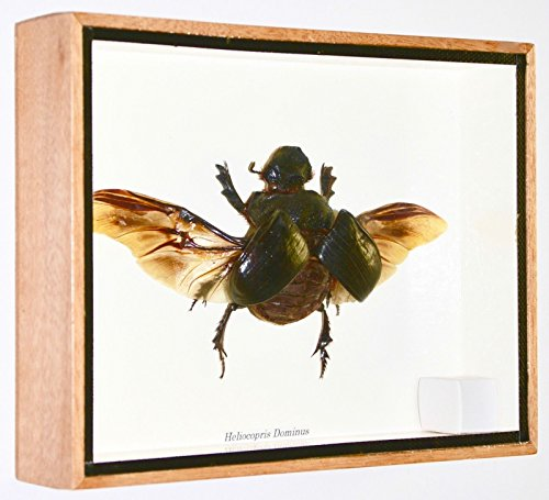 very-big-heliocopris-dominus-insect-dung-beetle-wings-open-taxidermy-big-frame