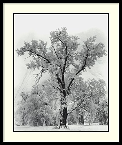 Framed Wall Art Print Oak Tree, Snowstorm, Yosemite National Park-1948 by Ansel Adams 27.00 x 32.00 (Ansel Adams Gallery Yosemite National Park)