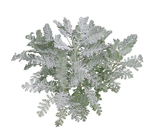Burpee Silver Lace Dusty Miller Seeds 100 seeds