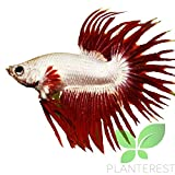 Planterest - Live Aquarium Betta Tropical Fish Red Male Dragon Crowntail Ready to Add in Plants Tank
